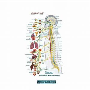 Autonomic Nervous System Lateral  U2013 Labeled Decal