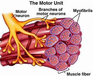 Motor Unit Recruitment Strategies During Deep Muscle Pain