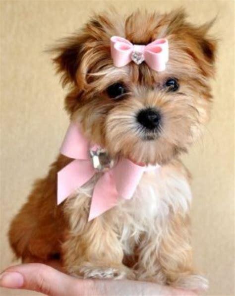 Teacup Morkie Full Grown Animals Pinterest