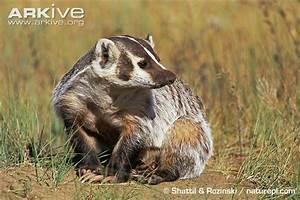 American badger photo - Taxidea taxus - G135913 | Arkive