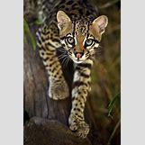 Ocelots Cubs   600 x 901 jpeg 62kB