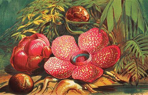 Lukisan Bunga Raflesia