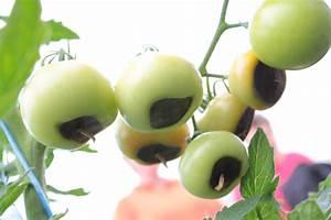 Bester Dünger Für Tomaten : n hrstoffungleichgewicht und umwelteinwirkung bei tomaten ~ Michelbontemps.com Haus und Dekorationen