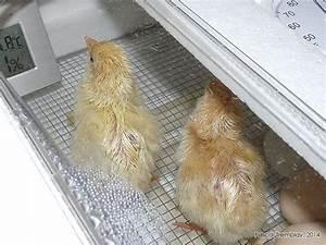 Couveuse Oeuf De Poule : les 13 meilleures images du tableau incubation des oeufs ~ Premium-room.com Idées de Décoration