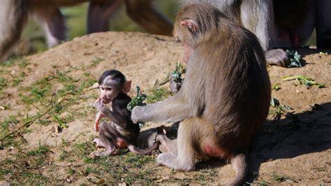 rocks africa zoo diego san baboons