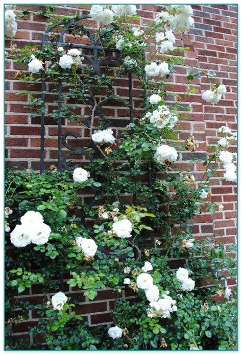 Climbing Flowering Plants Nz 2