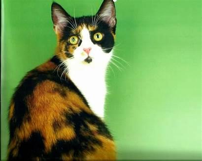 Calico Wallpapers Cat Cats Breed Desktop Warrior