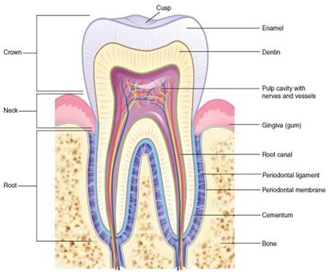 dental anatomy ideas  pinterest rda dental dental life  dental hygiene