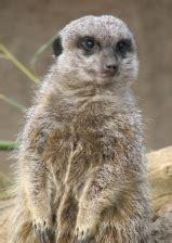 animals  kids meerkat