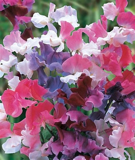 picture of sweet pea all sweetpea varieties