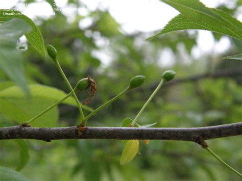 Plantfiles Pictures Wild  Ee  Plum Ee   American  Ee  Plum Ee   Goose  Ee  Plum Ee