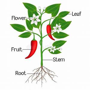 An Illustration Showing Parts Of A Chili Pepper Plant