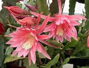 Epiphyllum For Sale - Garden Design Ideas