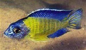 Bruce s Pond Shop & Aquatic Treasures Freshwater Cichlids