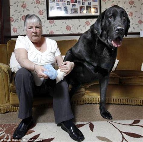 canapé pour grand chien le plus gros chien du monde celui de grande bretagne en