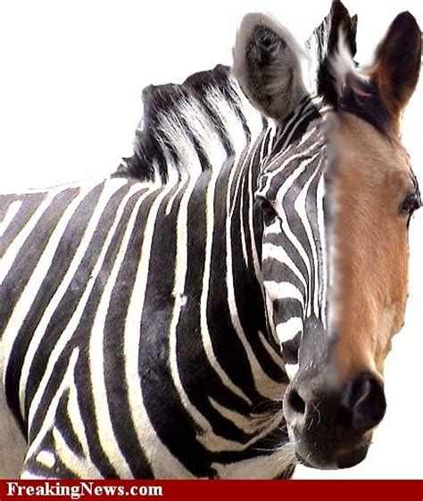zebra horse between difference stripes horses zebras animal without differences then word different silly toed