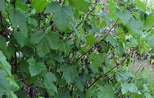 Schwarze Johannisbeere Pflanzen : schwarze johannisbeere ribes nigrum bot sektion ~ Lizthompson.info Haus und Dekorationen