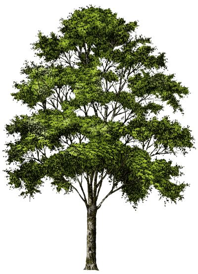 Tree Images No Background by Tree Free Png Transparent Image And Clipart