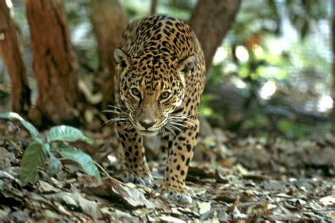 amazon animals  olympic proportions wwf uk blog