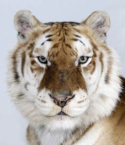Pictures The Four Faces Bengal Tiger