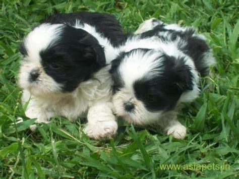 lhasa apso puppies  sale  madurai   price