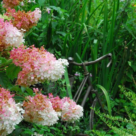 hortensia vanille fraise hortensia paniculata vanille fraise 174 renhy pot de 5 litres gamm vert