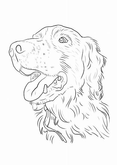 Spaniel Springer Coloring Dog Horse Drawings Uploaded