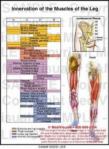 Lower Leg Muscle Chart