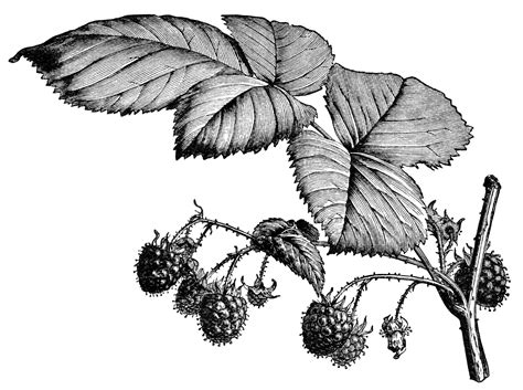 raspberry bush clipart black and white fruiting raspberry branch free vintage image