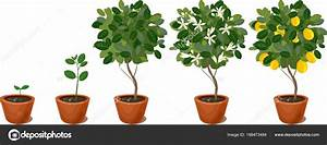 Growing Lemon Tree Life Cycle Plant  U2014 Stock Vector