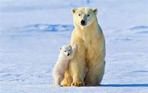 White bear, baby polar bears wallpaper | animals ...