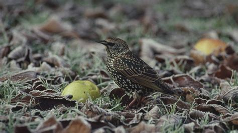 the rspb birds wildlife where have all the starlings gone