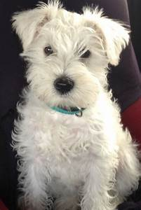 beautiful-white-mini-schnauzer-5260233bc7690.JPG (745×1114 ...