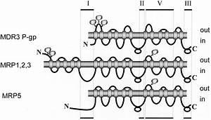 Specific Detection Of Multidrug Resistance Proteins Mrp1  Mrp2  Mrp3  Mrp5  And Mdr3 P