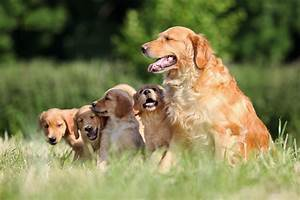 golden retriever breed of britannica