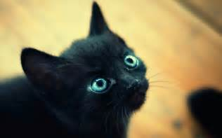 black cats with blue beautiful black cat with blue wallpapers and