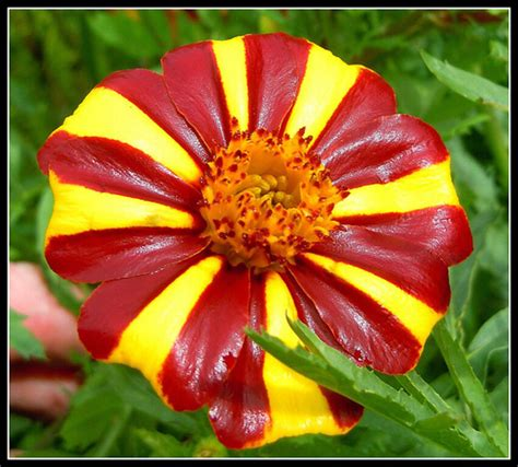 Jolly Jester Marigold! 20 Seeds! Beautiful Colors! Combs