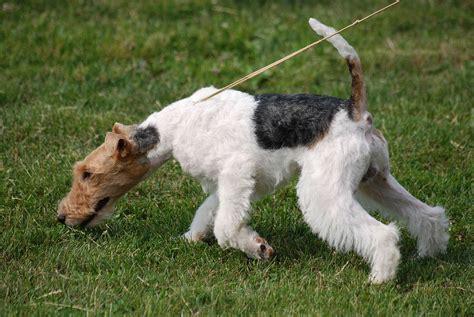 Fox Terrier Wikimedia Commons