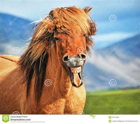 icelandic horse smiling royalty  stock  image