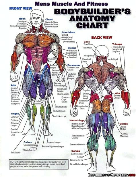 Naming skeletal muscles according to a number of criteria: bodybuilder's anatomy chart | Muscle anatomy, Body muscle ...