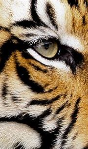 sumatran tiger close-up | The Sumatran Tiger has heavy ...