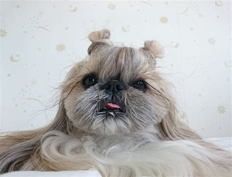 cute dog kuma   internet sensation