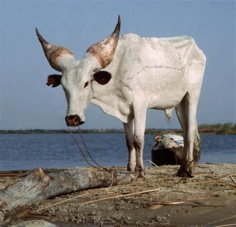 Kuri Cattle Breed Information - Learn Natural Farming