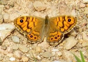 Wall Brown Butterfly  Lasiommata Megera  Identification Guide