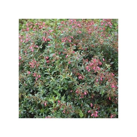 Escallonia 'red Carpet'  Plantes Et Jardins