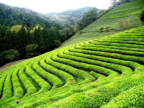 the tea gardens of darjeeling
