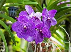 Orchideen Ohne Topf : vanda orchidee pflege im topf und im glas ~ Eleganceandgraceweddings.com Haus und Dekorationen