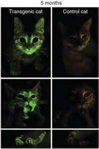 genetically modified cats what can this glow in the kitten teach scientists