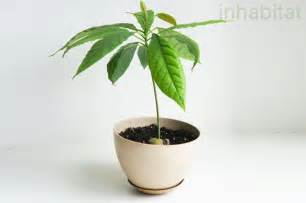 how to grow an avocado tree from seed inhabitat green design innovation architecture