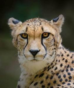Early Morning Cheetah Experience